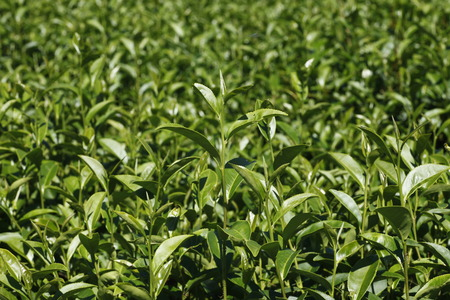 thea: Oolong tea in the field