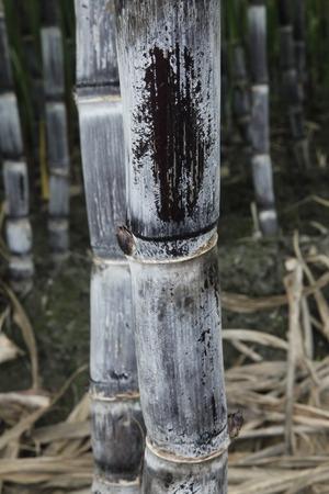 saccharum: Sugar cane, Saccharum