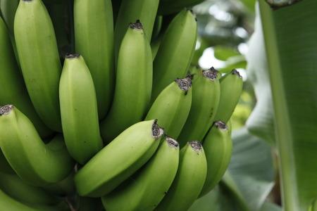 formosa: Banana fields,Formosa Banana Stock Photo