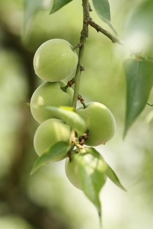 formosa: Plum,Formosa Plum