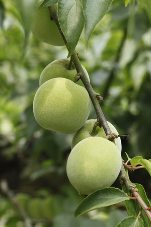 formosa: Formosa Plum Stock Photo