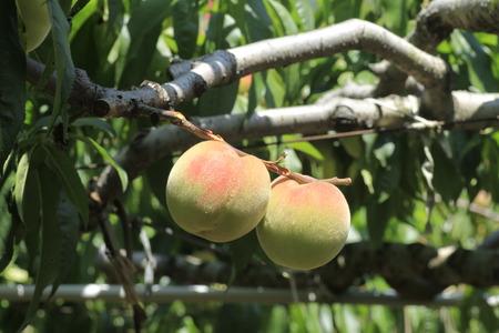 formosa: Peaches,Formosa Peaches