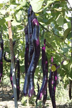 solanaceae: Eggplant in the field Stock Photo