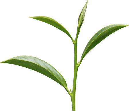 Oolong tea isolated in white  Stock Photo