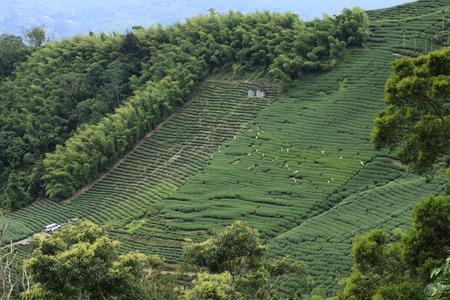 thea: Oolong tea in the field,Alishan tea,The tea can be taken Stock Photo