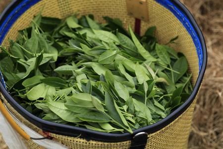 Oolong tea in the field,Alishan tea