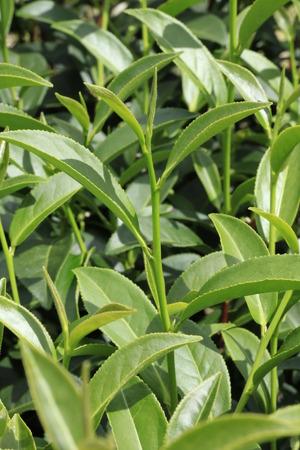 oolong: Oolong tea in the field, Alishan tea Stock Photo