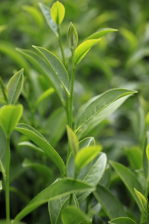 thee: Oolong tea in the field, Alishan tea Stock Photo