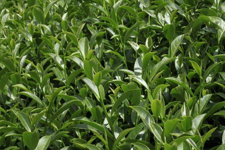 thea: Oolong tea in the field, Alishan tea Stock Photo