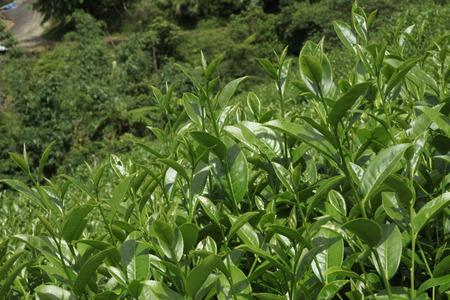 Oolong tea in the field, Alishan tea Stock Photo