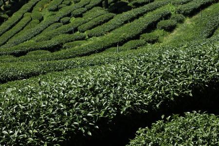 oolong: tea in the field,oolong tea plantation