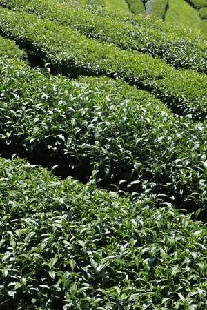 thea: tea in the field,oolong tea plantation