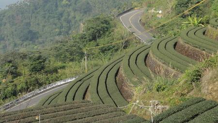 thea: Tea plantation Stock Photo