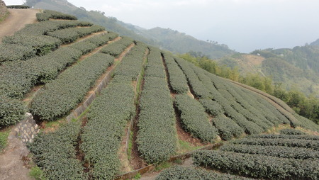 In altitude tea plantation