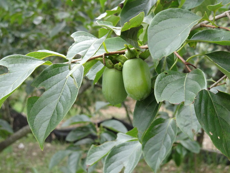 ebenaceae: Persimmon Young fruit in the field Stock Photo