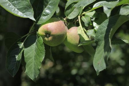 honey apple: Honey Apple in the field, Stock Photo