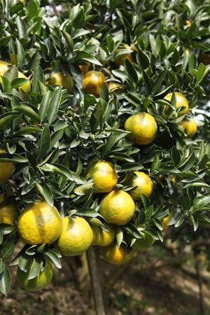 blanco: Citrus Fruit in the field,orange