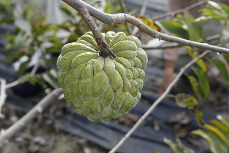 sweetsop: sweetsop in the field