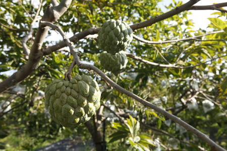 annona squamosa: sweetsop in the field