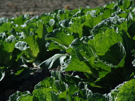 Chinese Cabbage in the field,Cruciferae photo