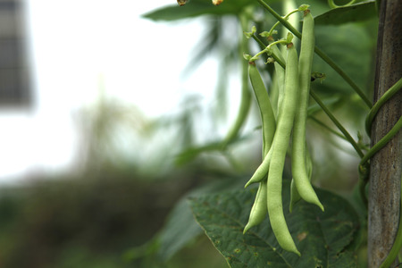 fabaceae: Green beans in the field,Fabaceae