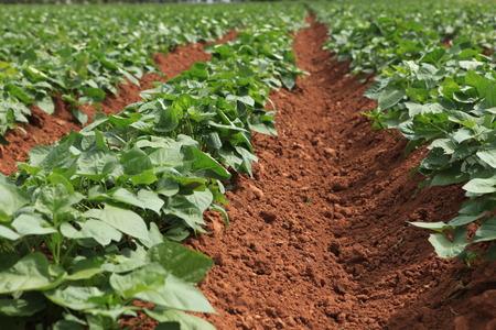 convolvulaceae: sweet potato in the field,convolvulaceae Stock Photo