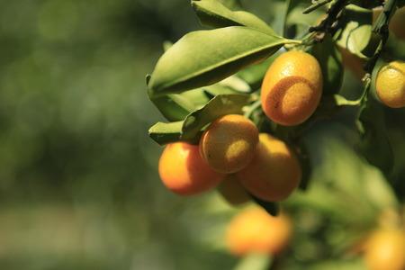 rutaceae: Oval Kumquat en el campo, Rutaceae Foto de archivo