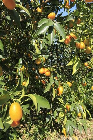 rutaceae: Oval Kumquat in the field,Rutaceae