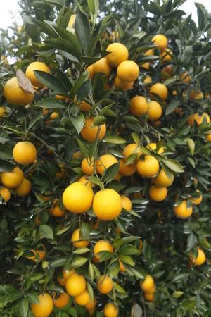 citrus  sinensis: Citrus sinensis Stock Photo
