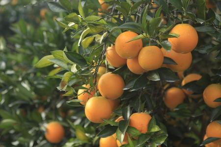 rutaceae: Citrus sinensis Stock Photo