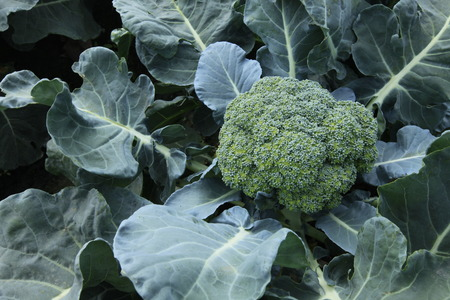 sprouting broccoli in the field,Brassicaceae