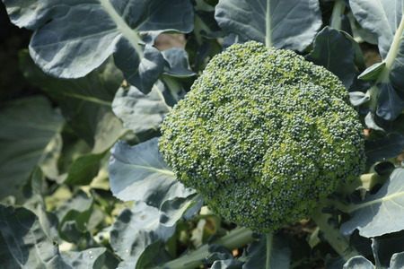 planck: sprouting broccoli in the field,Brassicaceae