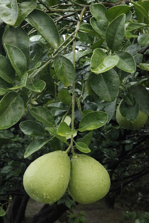 citrus maxima: pomelo in the fields,rutaceae Stock Photo
