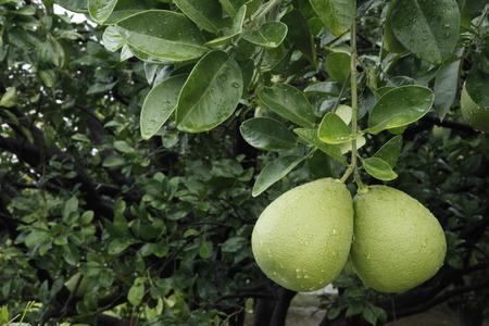 rutaceae: pomelo en el campo, Rutaceae