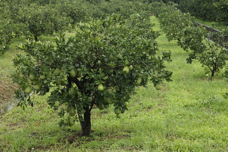 rutaceae: pomelo in the fields,rutaceae Stock Photo