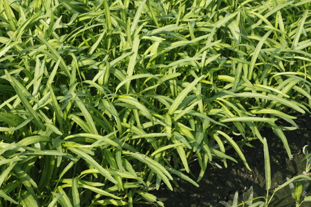 chinese spinach: Water convolvulus in the field , Convolvulaceae Stock Photo