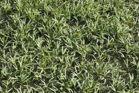 convolvulus: Water convolvulus in the field , Convolvulaceae Stock Photo