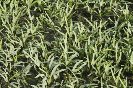 convolvulaceae: Water convolvulus in the field , Convolvulaceae Stock Photo