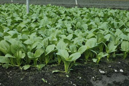 coy: Bok Coy in the field , Brassicaceae
