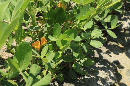 fabaceae: Peanut in the field , Fabaceae