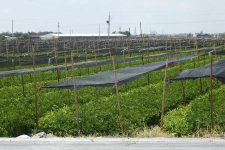 apium graveolens: Celery in the field , Apiaceae