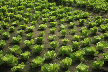 asteraceae: lettuce  in the field , Asteraceae Stock Photo