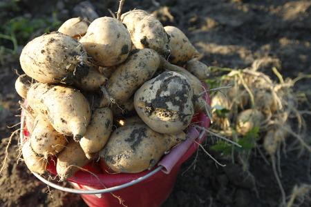 convolvulaceae: sweet potato , Convolvulaceae Stock Photo