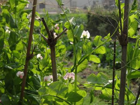 fabaceae: Snow pea in the field , Fabaceae Stock Photo