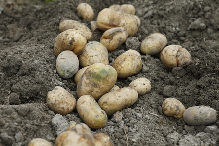 solanaceae: Potato in the field, Solanaceae Stock Photo