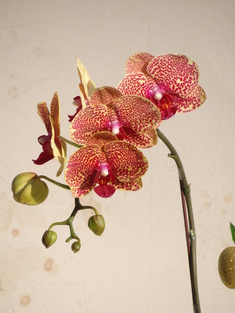orchid, Orchidaceae Stock Photo