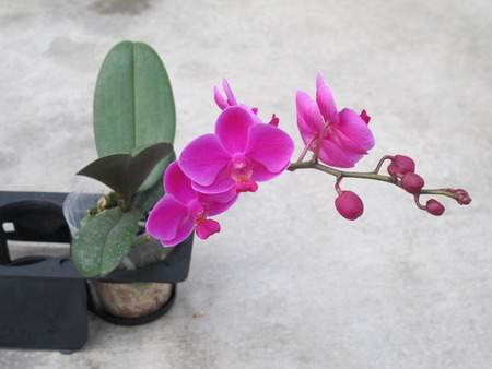 facilitated: orchid, Orchidaceae Stock Photo