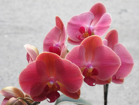 orchidaceae: orchid, Orchidaceae Stock Photo