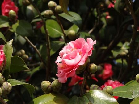 japonica: Camellia japonica, Theaceae