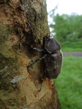 coitus: beetle close up